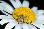 Common Crab Spider, Xysticus cristatus, female, feeding on prey, on daisy flower. .United Kingdom....