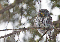 A northern pygmy owl is a rare find due to its small size.  This was the first pygmy owl I ever saw in the Yellowstone area.