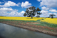 Irrigation channel next to a crop of canola, outback Australia