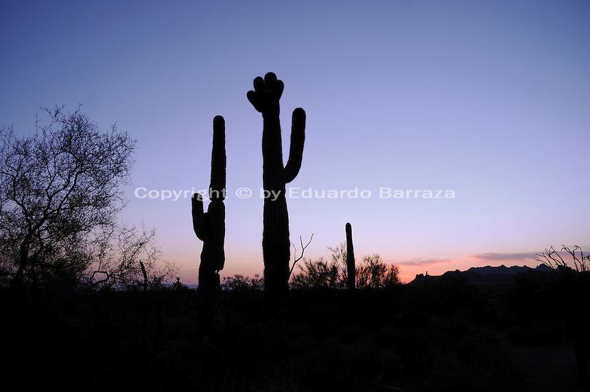 Apache Junction, Arizona. The Saguaro Cactus is native to the Sonoran Desert in the state of Arizona. Combined with sunsets, saguaro cactus and other species of the flora create spectacular scenery typical of the American Southwest. This photograph shows saguaro cacti (Carnegiea gigantean its scientific name), which are found exclusively in the Sonoran Desert, and are large, tree-like columnar plants that grow arms (or branches) over time. This area is part of the Lost Dutchman State Park is located in the area of the Superstition Mountains in the Sonoran Desert, 40 miles east of Phoenix, Arizona. The park takes its name from a fabled lost gold mine. Photo by Eduardo Barraza © 2011