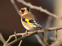 Gold Finch.