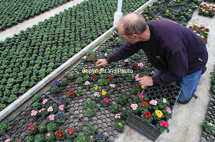 Foto: VidiPhoto..BEMMEL - Met dubbelgevulde (dubbelbloemig) en mini-primula's (foto) weet Bejafleur pot- en perkplanten uit Bemmel zich op dit moment te onderscheiden van de concurrentie. De zeer bewerkelijke en arbeidsintensieve mini-primula is zelfs uniek voor Nederland. Met speciale voeding en remstof weet Bejafleur de plantjes klein te houden. Ruim 90 procent gaat naar het buitenland, waarbij vooral de vraag uit Oost-Europa enorm toeneemt. .