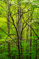 Blooming dogwood trees in spring forest, Newfound Gap Road, Great Smoky Mountains National Park