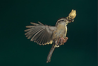 Carolina Wren, Thryothorus ludovicianus, adult in flight, Cameron County, Rio Grande Valley, Texas, USA