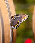 A butterfly looks for  wine juice on the wine barrels outside the barrel cave on the approach to Tarara Winery.