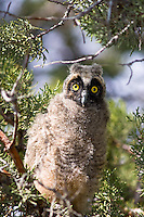 Long-eared Owlet, Oregon