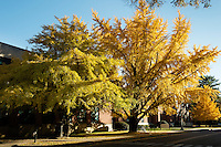 Fall gingko leaves on Engineering Row<br />  (photo by Megan Bean / &copy; Mississippi State University)