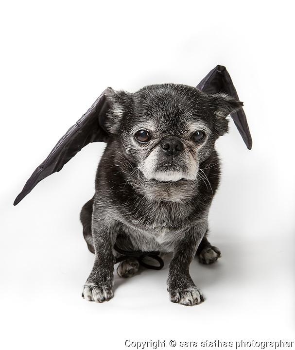 pug, pug love, old dog, elderly dog, old pug, Wisconsin, Milwaukee, Ruby, Dog, Pet, Animal, dog humor, pet humor