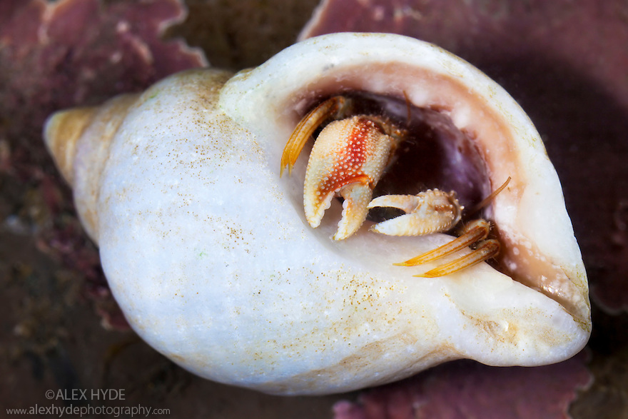 Common Hermit Crab {Pagurus bernhardus} in a rockpool, withdrawing into shell for protection. Isle of Skye.