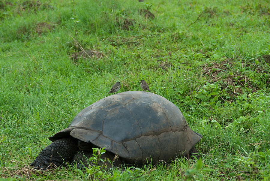 a ginat tortoise with two finches on its back at el chatto santa cruz galapagos