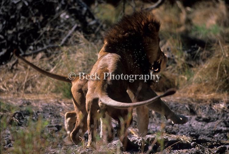 Lion spar