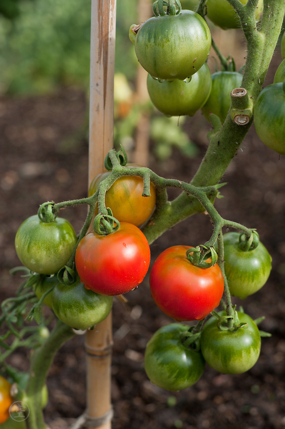 Tomatoes ripening on a vine in an organic allotment garden.