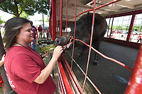 NWA Democrat-Gazette/J.T. WAMPLER Julie Stokes of Dardanielle feeds grapes to Razorback mascot Tusk IV Monday June 10, 2019 before the Razorback baseball game against Ole Miss. Tusk IV is retiring and his son Tusk V will take the mantle starting this fall at football.