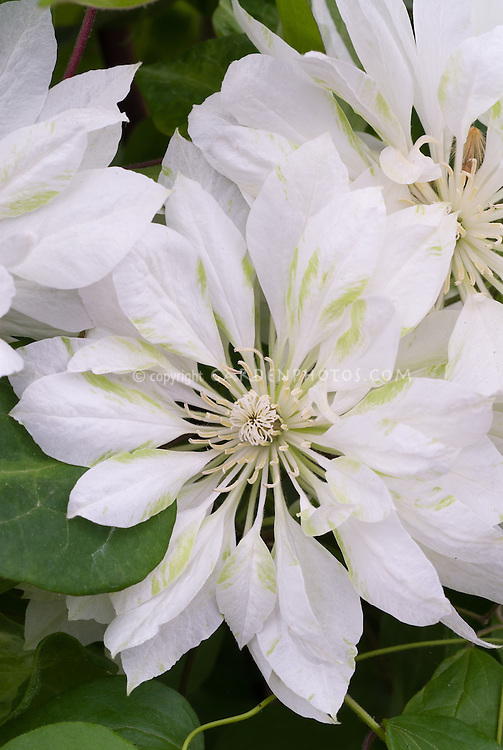 Clematis 'Yukiokoshi', white and green 4 to 5 inch double white flowers in early summer and again in early fall. Perennial climbing flowering vine