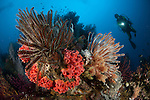 Diver looks on at a Raja Ampat reef scape covered in crinoids, West Papua, Indonesia