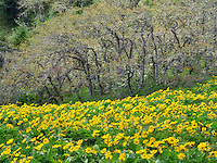 Balsamroot wildflowers and oak trees. Columbia River Gorge National Scenic Area. Oregon