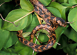 Blunt Headed Tree Snake, Imantodes cenchoa, curled on shrub/bush, Belize.Belize....