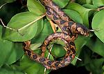 Blunt Headed Tree Snake, Imantodes cenchoa, curled on shrub/bush, Belize.Belize....