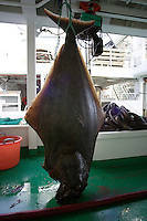 200 pound Atlantic Halibut hanging on trawler deck Hippoglossus hippoglossus