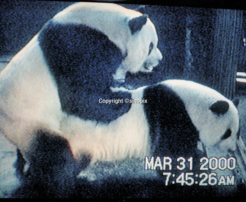 Two panda having sex at the Giant Panda Research Base in Chengdu.