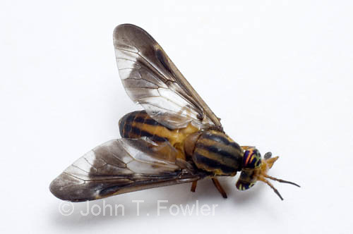 Deer fly  Chrysops sp.