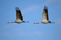 Kranich, im Flug, Flugbild, Grus grus, common crane