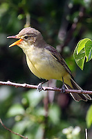 Gelbspötter, singend, Gelb-Spötter, Spötter, Hippolais icterina, Icterine Warbler