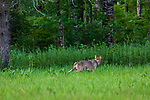 Gray wolf in northern Wisconsin.