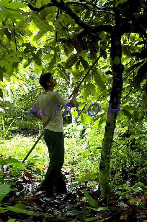 "Agricultor trabalha na  produÁ""o de cacau na transamazÙnica, <br /> Anap˙ , Par· , Brasil<br /> Foto Paulo Santos/Interfoto<br /> 168/02/2005"
