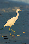 Little Blue Heron Juvenile at Sunrise, Egretta caerulea, Sanibel Island Florida