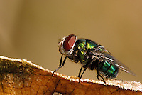 Calliphoridae (commonly known as blow-flies, carrion flies, bluebottles, greenbottles, or cluster flies.
