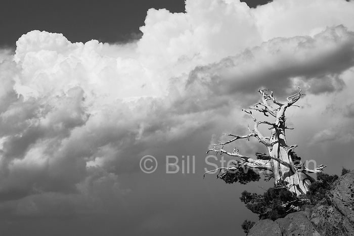 A photo of a windswept and weathered pine tree in the Sierra Mountains of California