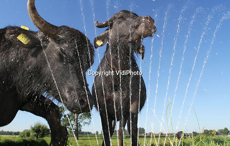 Foto: VidiPhoto..SON EN BREUGEL - Waterbuffel zoekt water. De waterbuffels van waterbuffelboer Arjan Swinkels uit het Brabantse Son en Breugel hebben met dit plotselinge warme weer maar één belang: water en modder. Swinkels helpt ze dinsdag daarbij een handje. Hij is de enige biologische buffelboer van Nederland. De tien hoogzwangere waterbuffels zoeken behalve verkoeling, ook modder om zich in de wentelen. De zon maakt van de modder vervolgens een natuurlijk 'harnas' tegen lastige insecten. Swinkels wil binnen enkele jaren uitgroeien naar vijftig waterbuffels. Voor de melk, geschikt voor buffelmozzarella, zoekt hij nog een afnemer. Nederland telt slechts tien buffelboeren.