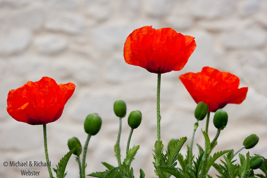 The red poppy is closely associated in the UK with rememberance day.