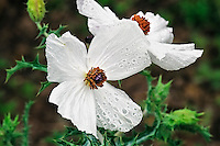 Prickly Poppy Flower