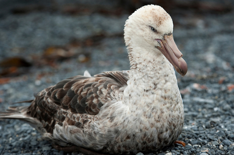 Southern Giant Petrel (Macronectes giganteus) sitting on the beach, Prion Island, South Georgia