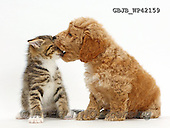 Kim, ANIMALS, REALISTISCHE TIERE, ANIMALES REALISTICOS, fondless, photos,+Cockapoo puppy playfully biting the face of tabby kitten,++++,GBJBWP42159,#a#