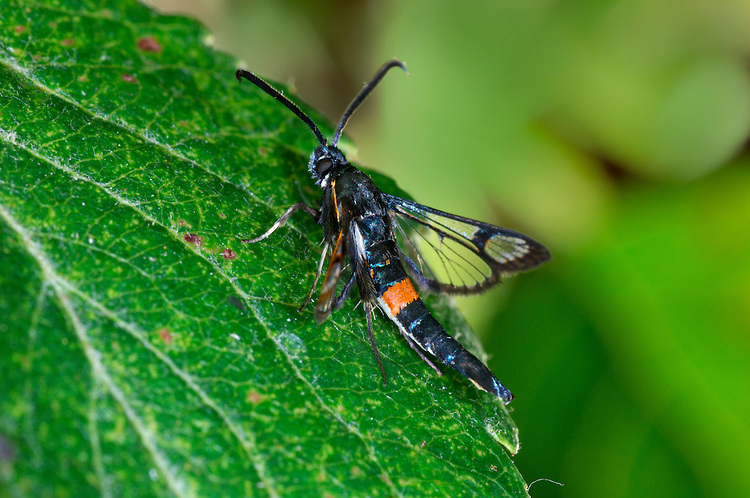 Red-belted Clearwing - Synanthedon myopaeformis