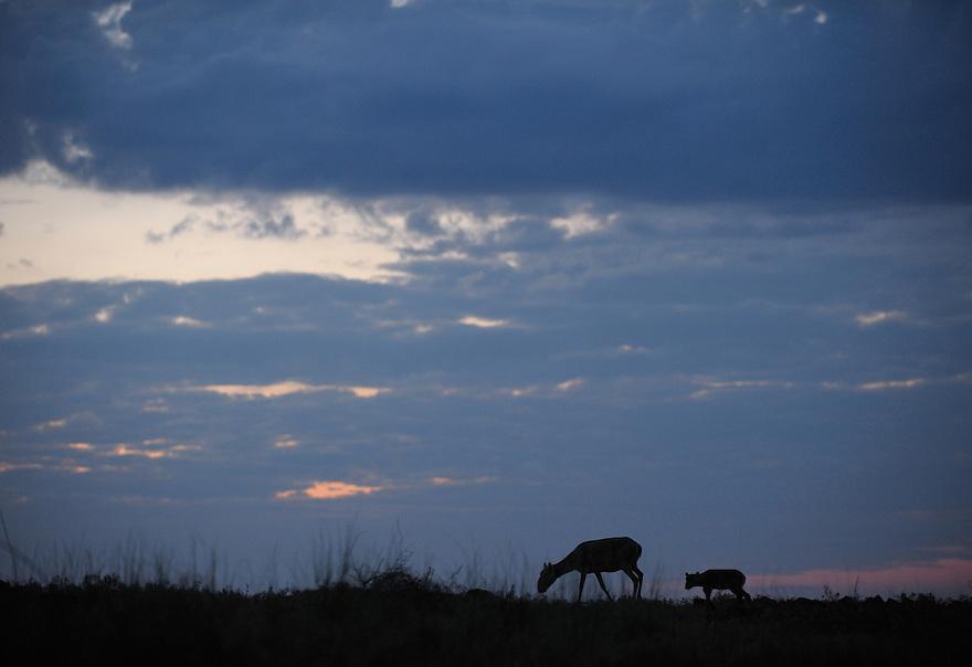 Mission: Saiga.Mother saiga (Saiga tatarica) and calf in the steppe near Cherniye Zemly (Black Earth) Nature Reserve, Kalmykia, Russia, May 2009.Saiga tatarica