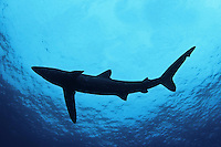 The blue shark OR Prionace glauca is a species of requiem shark, family Carcharhinidae, that inhabits deep waters in the world's temperate and tropical oceans