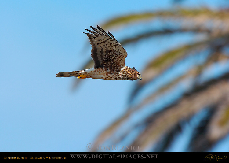 Northern Harrier, Bolsa Chica Wildlife Refuge, Southern California