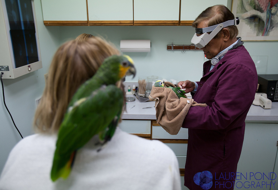 "At the Avian Health Clinic Inc. in Reynoldsburg, Ohio, which has been in business since the 1980s, Dr. Mohan examines ""Bud,"" an orange-winged Amazon parrot, on Oct. 27, 2012. Owner Lynn Pennington, of Marysville, Ohio, and ""Sylvester,"" her other Amazon parrot, look on."