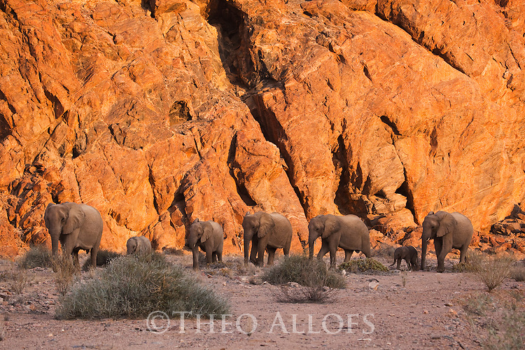 Namibia;  Namib Desert, Skeleton Coast,  desert elephant (Loxodonta africana), breeding herd walking in dry river bed