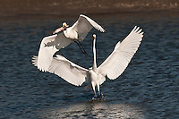 Two Great Egrets with Catfish at the Inks Dam National Fish Hatchery