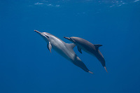 Spinner Dolphins, Stenella longirostris, Fernando de Noronha, Brazilian Coast, Atlantic Ocean, Brazil