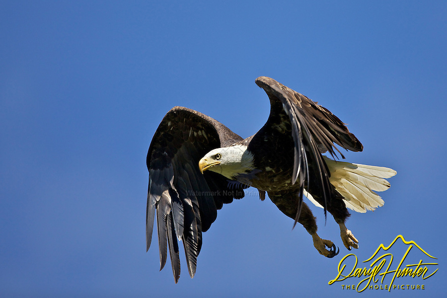Flying Bald Eagle, Yellowstone National Park