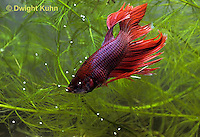 BY05-175z  Siamese Fighting Fish - male catching eggs released by female - Betta splendens