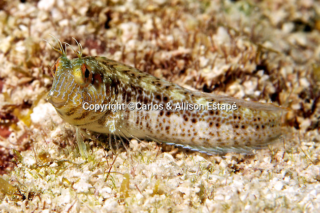 Parablennius marmoreus, Seaweed blenny, Florida Keys