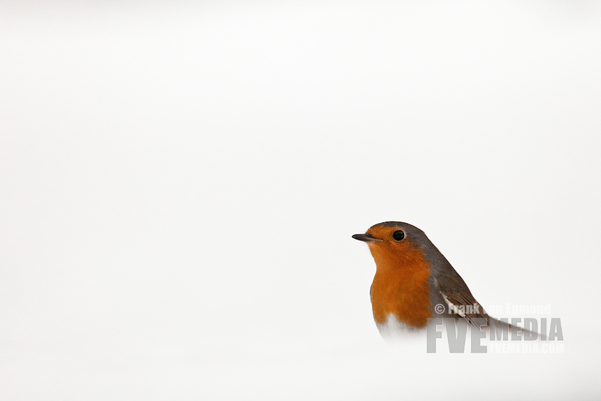 Robin in the snow (Erithacus rubecula).