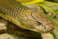 King Cobra (Ophiophagus hannah).(Woodland Park Zoo, Seattle WA)